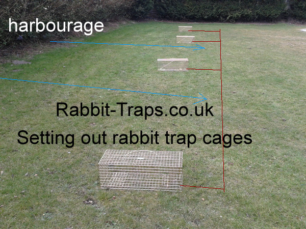 setting out rabbit traps